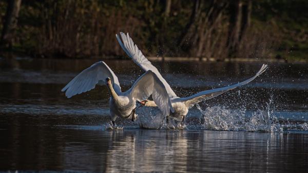 Swan Chase by chensuriashi