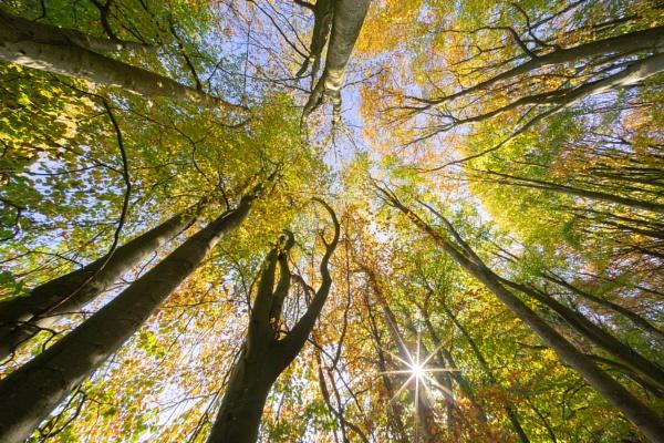 Autumn Beech by Paintman