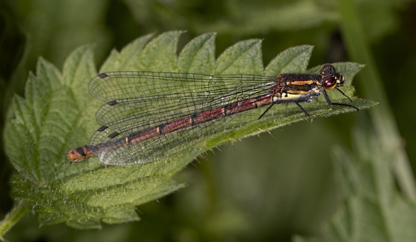 Large red damselfly by michaelo