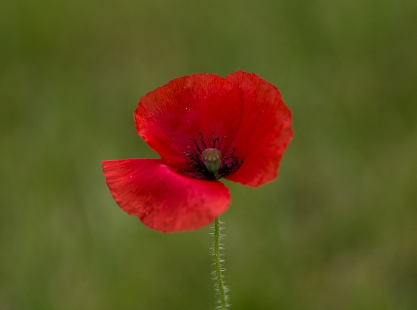 July Poppy by Chrism8