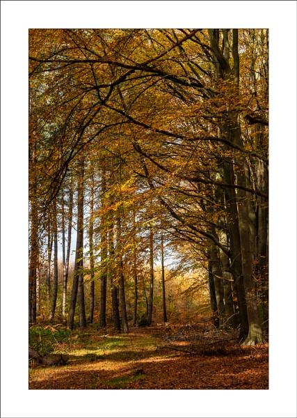 Autumn Beech by Steve-T