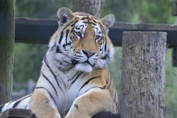 Zoo Tiger by peterthowe