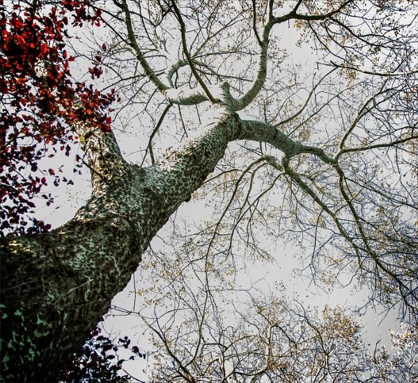 Birches by rambler