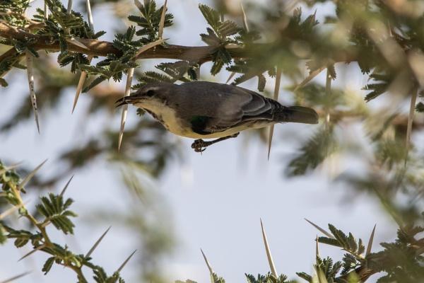 Female Nile Valley Sunbird by WorldInFocus