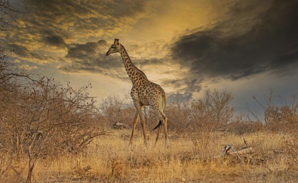 Giraffe  by esoxlucius