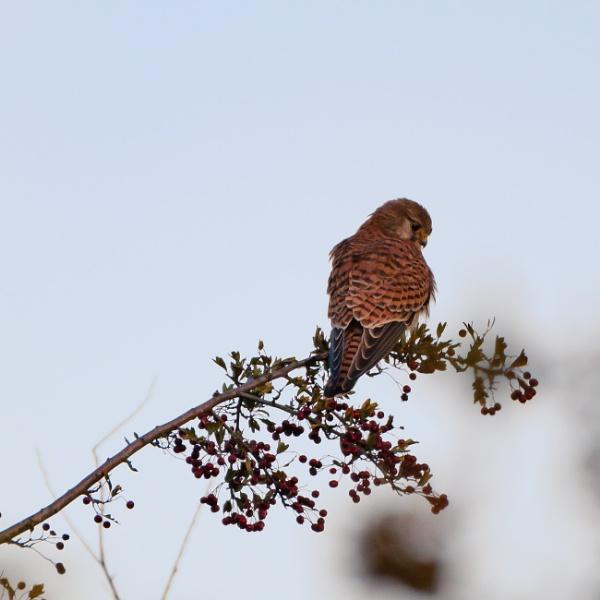 Kestrel on a perch 2 by iNKFIEND