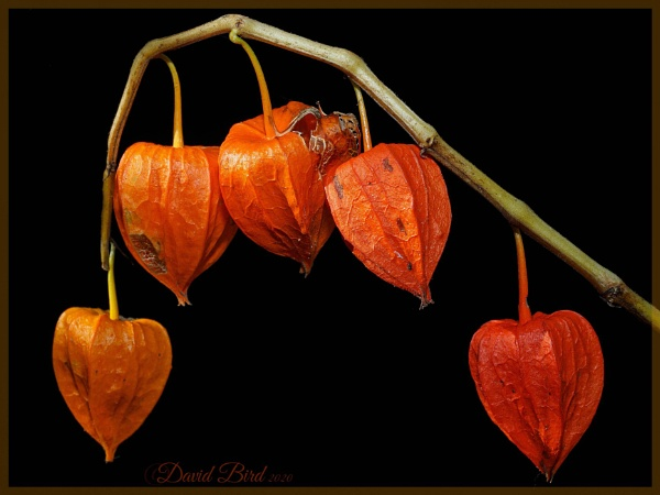 Chinese lanterns by DavidBird