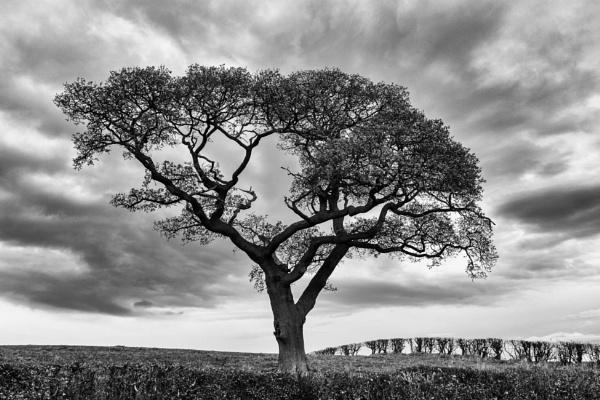 Brampton Tree by mbradley