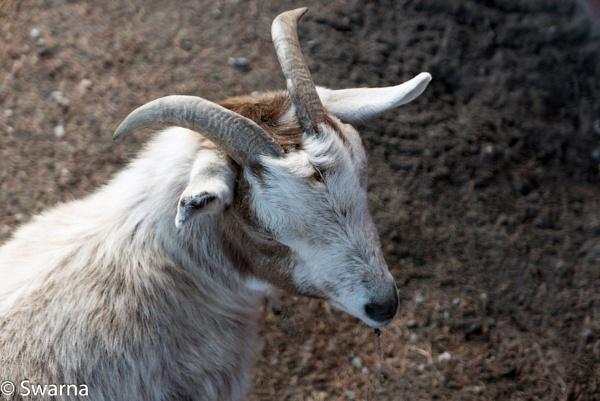 Goat head... by Swarnadip