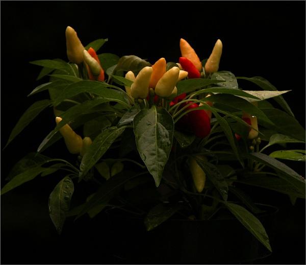 ornamental pepper by carmenfuchs
