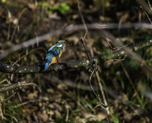 Kingfisher\'s Snack by ChristopherA