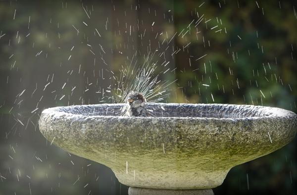 Sparrow enjoying a bath by deavilin