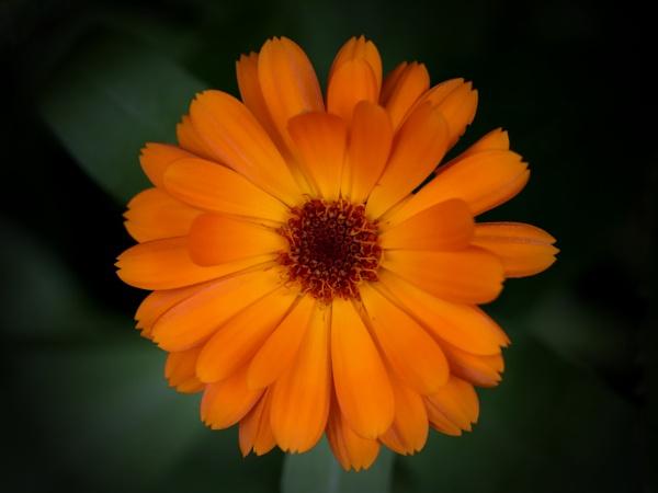 Pot Marigold by boov