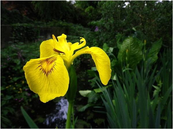 Yellow Flag Iris by johnriley1uk