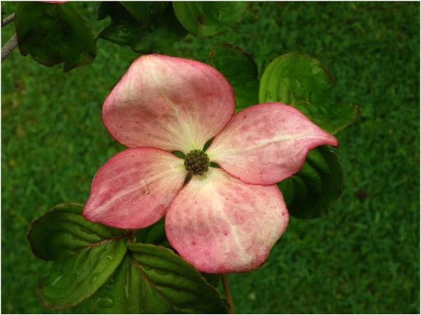 Flowering Dogwood by johnriley1uk