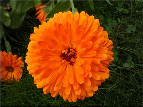 Pot Marigold by johnriley1uk