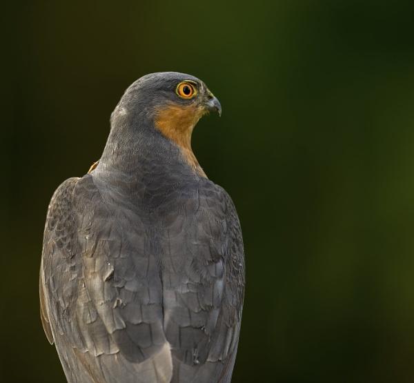 Sparrow Hawk by 10delboy