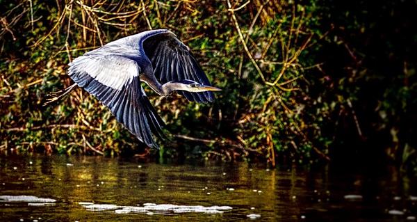 Heron in Flight by Cotswold88