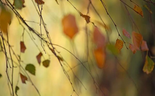 Autumn birch tree by LaoCe