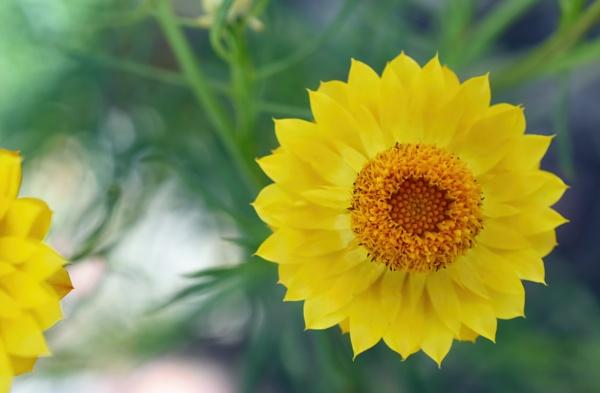 Everlasting daisy by littleflea