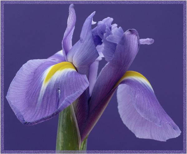 Iris 1 by SueB277