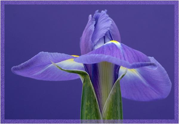 Iris 3 by SueB277