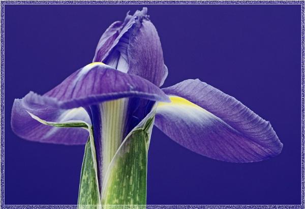 Iris 4 by SueB277