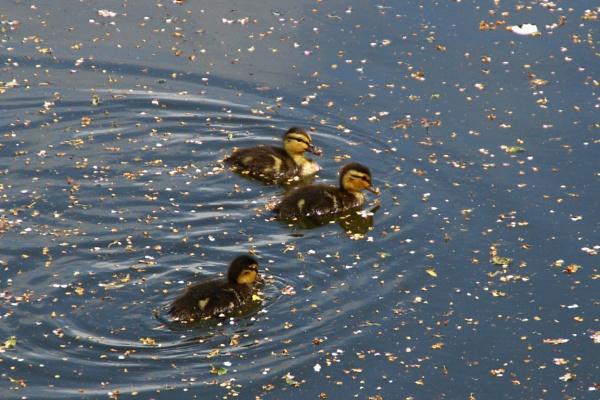 Ducklings by GwB