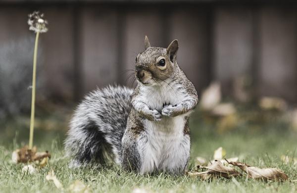 Grey Squirrel by AMS1