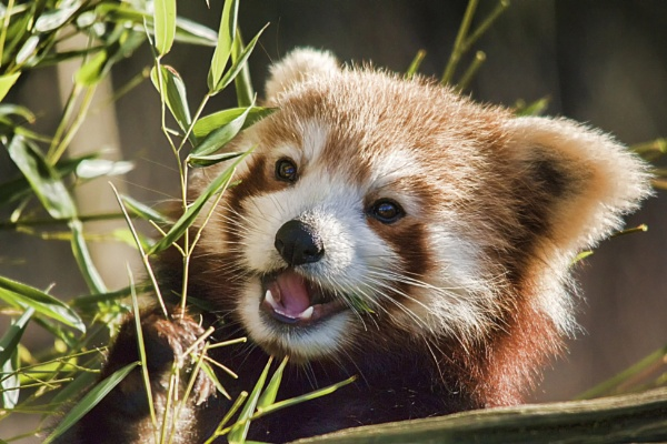 Red Panda by frenchie44