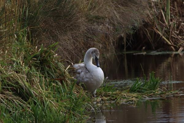 Swan by mark90d
