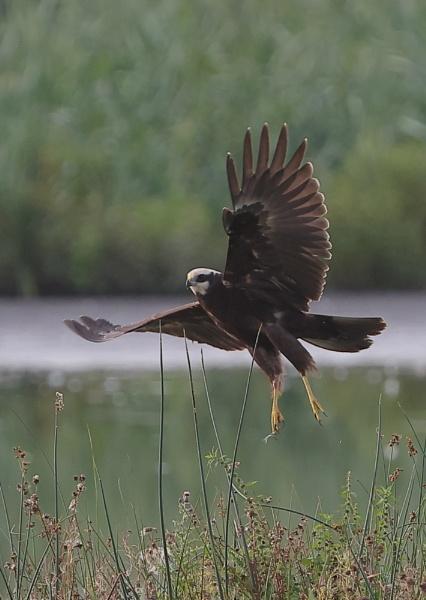 Marsh Harrier in Flight by NeilSchofield