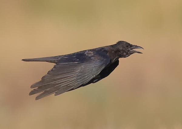 Crows in Flight by NeilSchofield