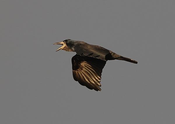 Rook in Flight by NeilSchofield