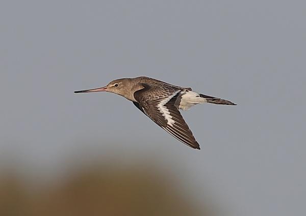 Godwit in Flight by NeilSchofield