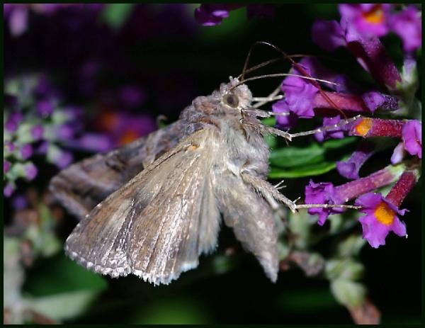 Silver Y Moth on Buddleia :- by Badgerfred