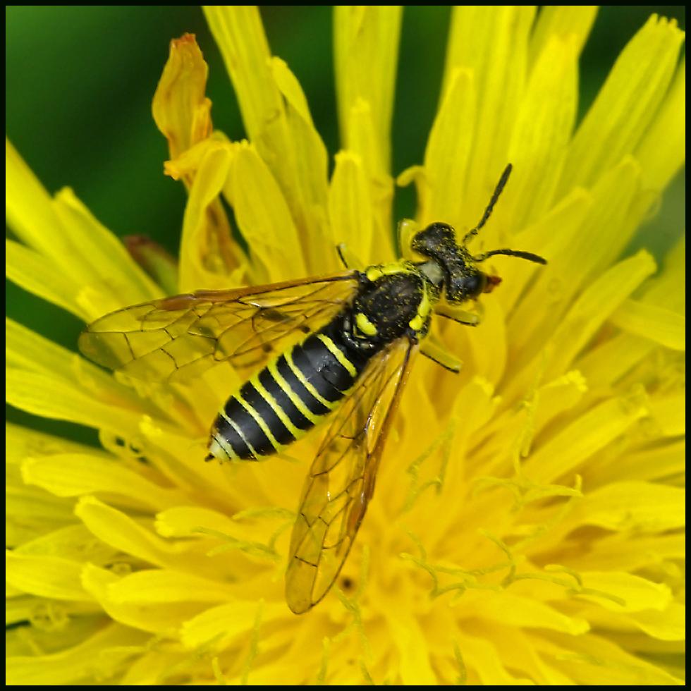 Figwort Sawfly :-