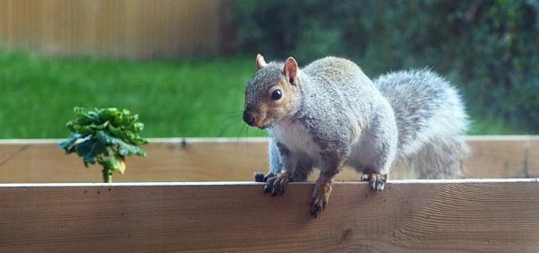 Squirrel!  by NikitaMorris
