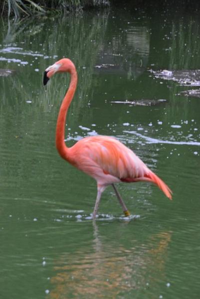 Flamingo by peterthowe