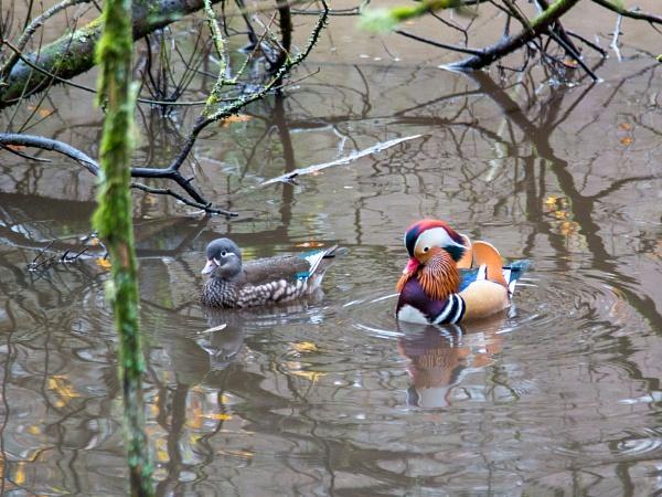 Mandarin Duck (Aix galericulata) by 41sPH0T0S
