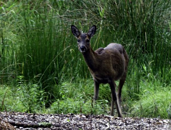 Grasmere Deer by nstewart