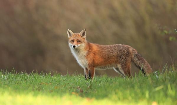 Sunshine Fox by Len1950