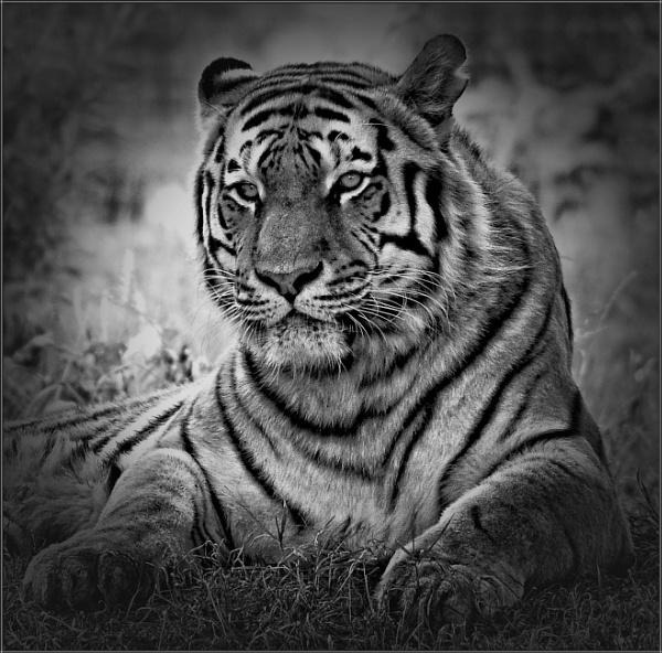 Amur Tiger (7) by PhilT2