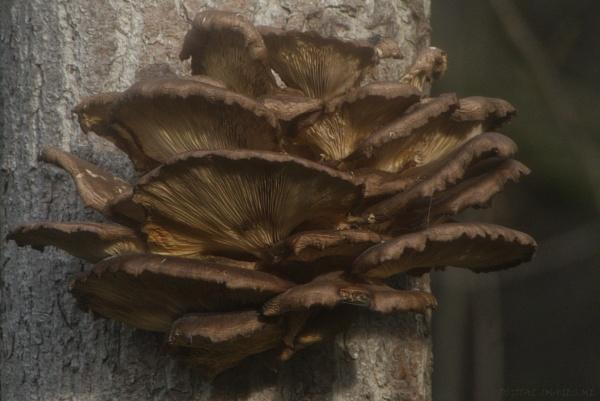 Oyster Mushroom by Alan_Baseley