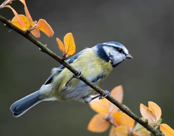 Autumn Bluey by jasonrwl