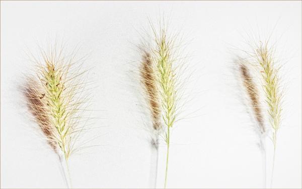 AUTUMN GRASSES by judidicks
