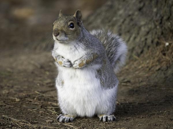 Squirrel by CraigWalker