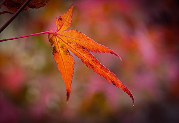 Acer leaf by chavender