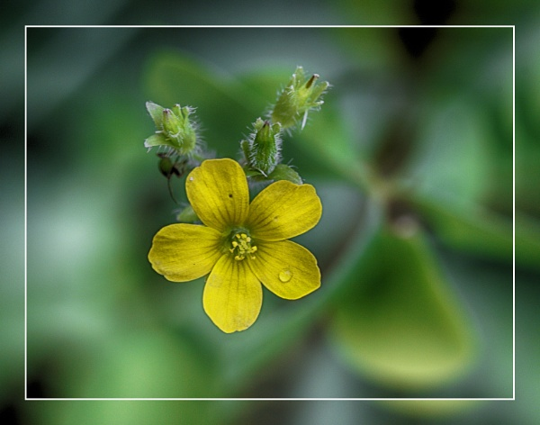 A Tearful Buttercup  (best viewed large) by gconant