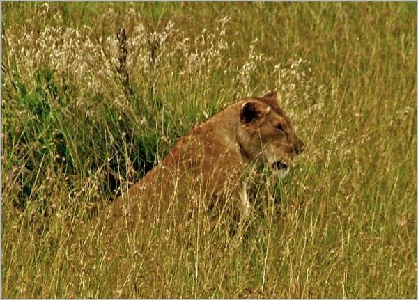 Kenyan lioness by JuBarney